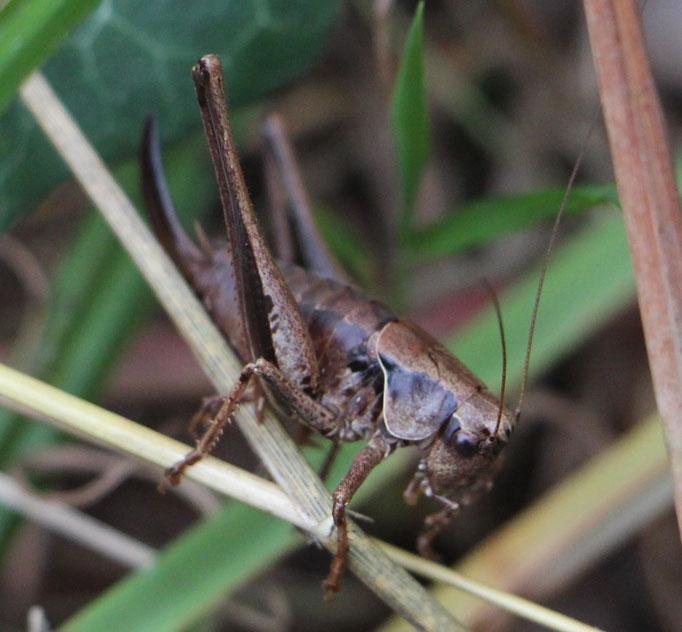 Gewöhnliche_Strauchschrecke (Pholidoptera griseoaptera), Imago,  RoteListe: 8 nicht gefährdet, Bild Nr.704, Bild v. Nick E. (4.10.2020)