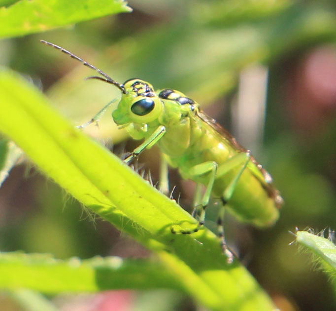 Grüne Blattwespe (Rhogogaster chlorosoma), oder: Rhogogaster viridis,  Rote Liste Status: 10 noch nicht bestimmt, Bild Nr.553, Aufnahme von Nikolaus Eberhardt (3.6.2018)