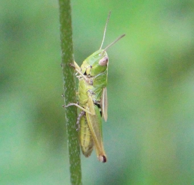 Gemeiner Grashüpfer schrecken (Chorthippus parallelus), RoteListe: 8 nicht gefährdet, Bild Nr.733, Bild v. Nick E. (5.7.2020)