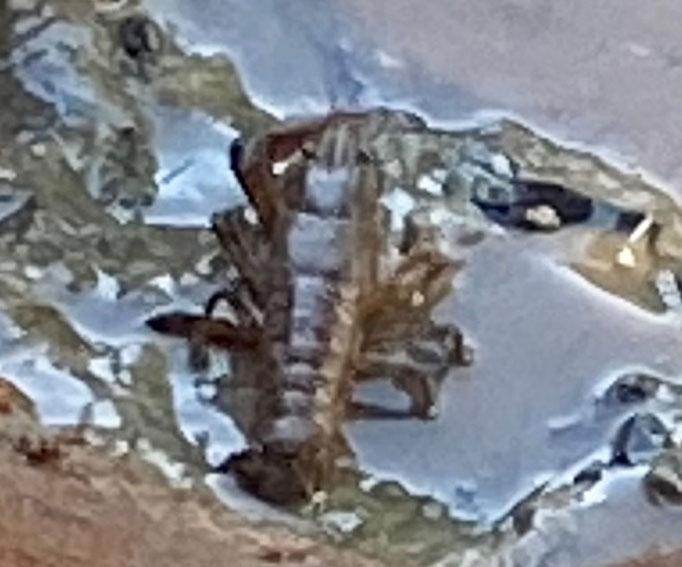 Flusskrebs (Astacoidea), Jungtier,  RoteListe: 10 noch nicht bestimmt, Bild Nr.709, Bild v. Nick E. (20.9.2020)