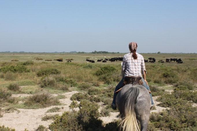Stiere in der Camargue
