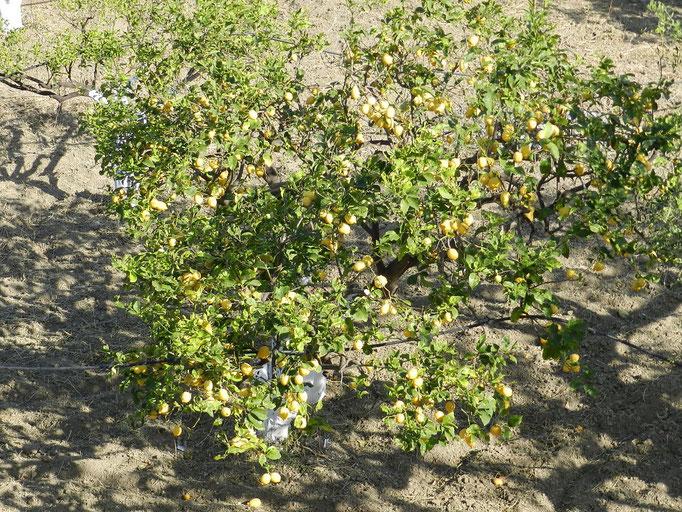 Giardino di limoni della casa di fronte