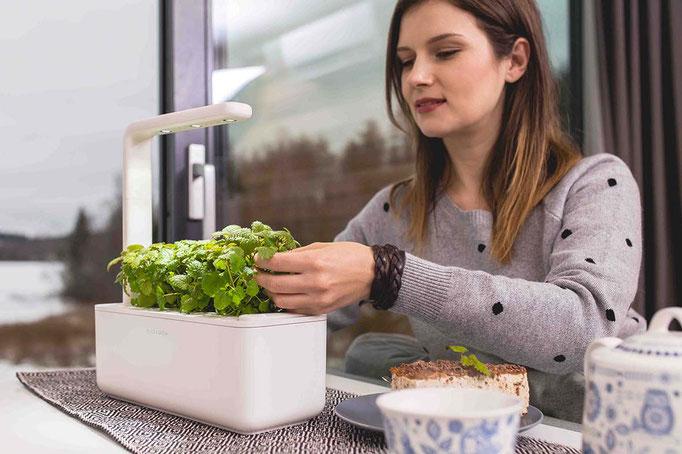 Kräutergarten drinnen auf dem Küchentisch