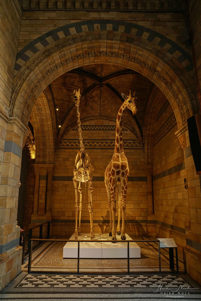 Giraffen im Natural History Museum London