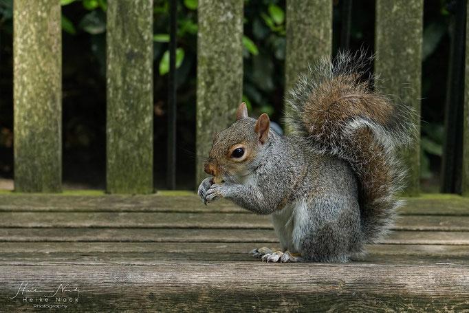 Grauhörnchen im Kensington Gardens