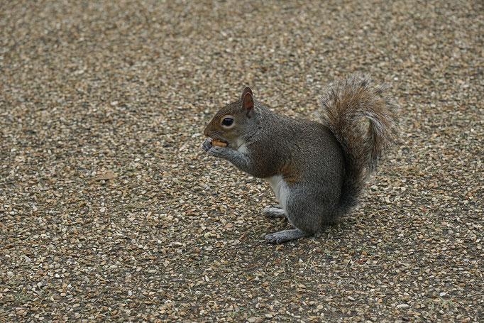 Grauhörnchen im Hyde Park