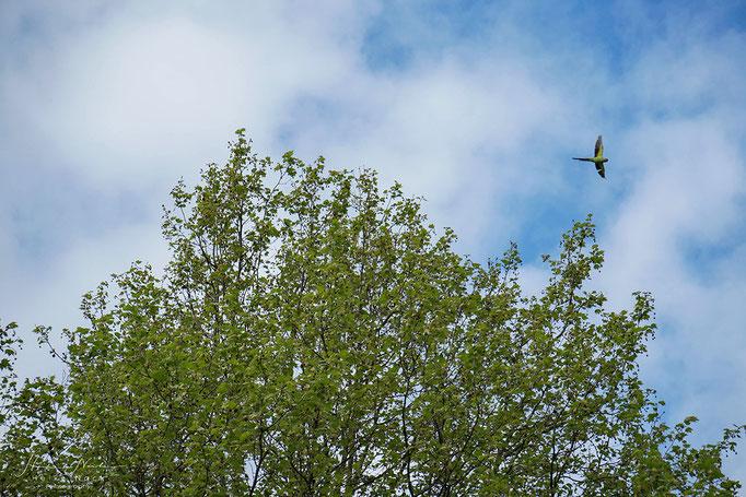 Halsbandsittich im Hyde Park
