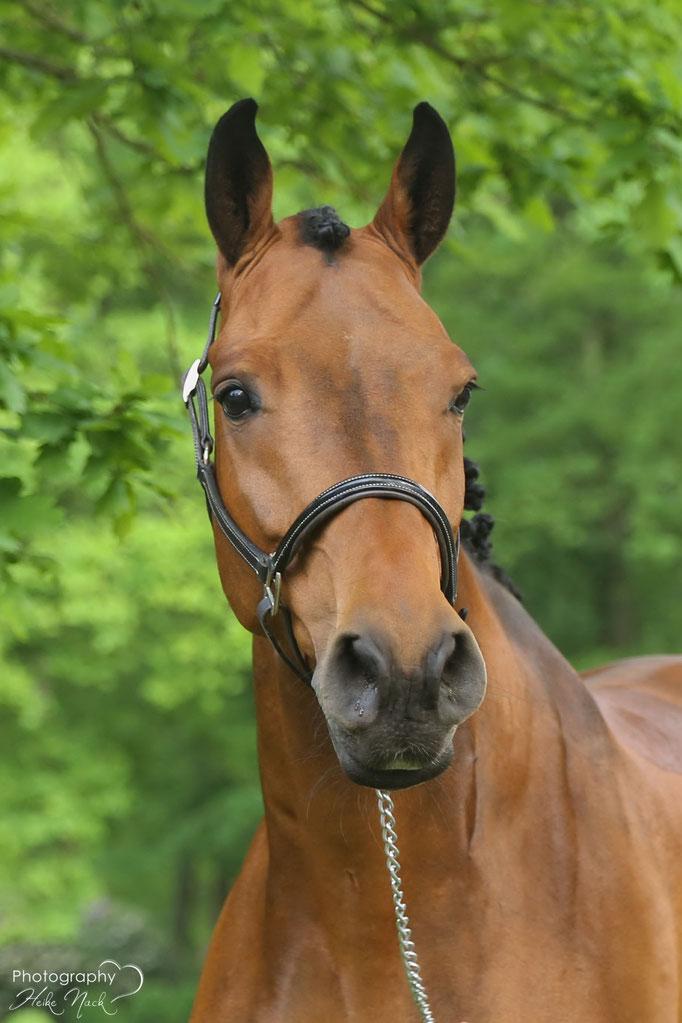 Caracho 14 (Holsteiner, 2009, von Cento)