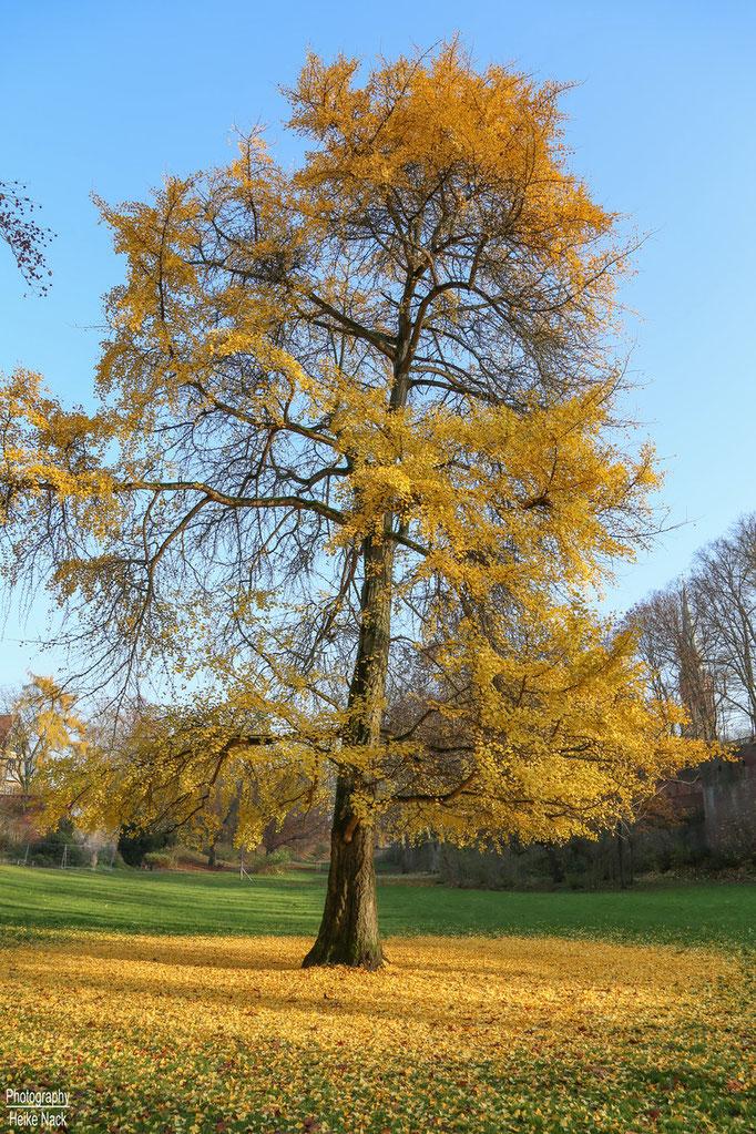 Ginkgo-Baum im Herbstkleid