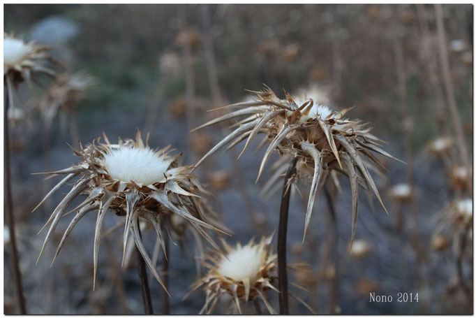 "Flora de Galera - Cardo ""Abreojos"" - Foto: J.A. Blázquez"