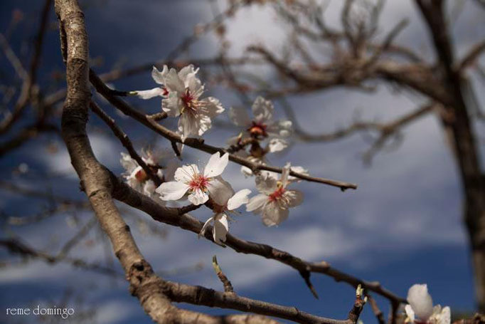 Flora de Galera - Almendros - Foto: R. Domingo