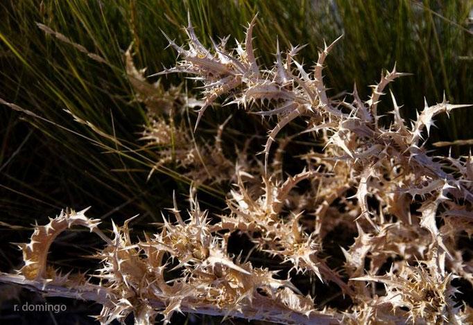 """Flora de Galera - Cardo """"Abreojos"""" - Foto: R. Domingo"""