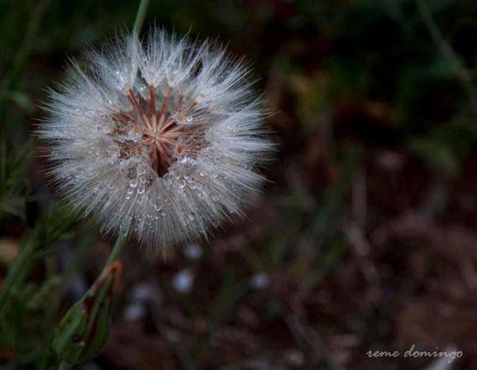 Flora de Galera - Dientes de león - Foto: R. Domingo