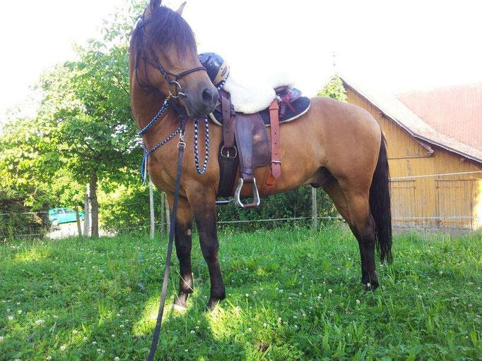 Halsring und Zügel blau schwarz braun und weiß