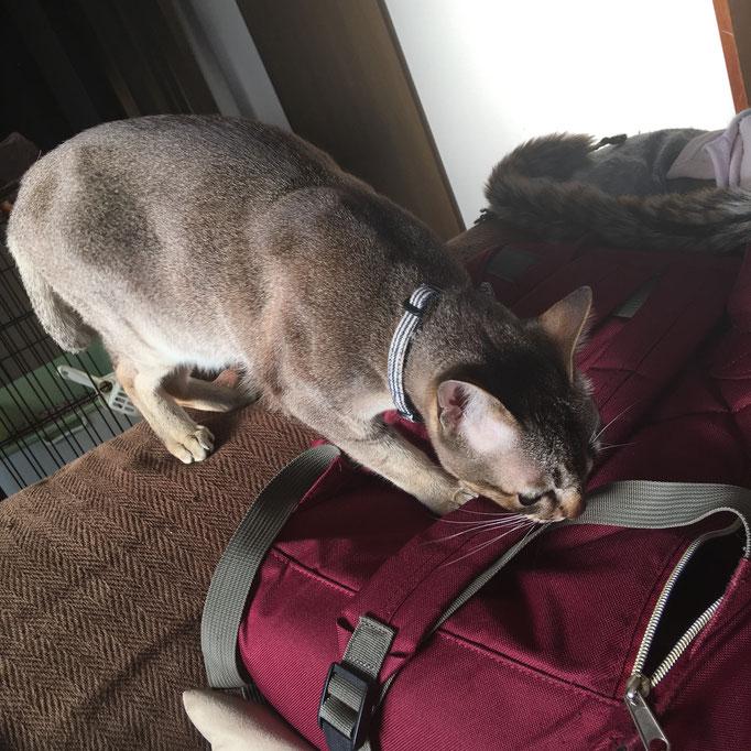 わたしのリュックをくんくん。他の猫の匂いが気になるのかもw