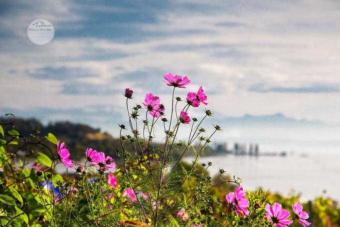 Bild: Bodenseeblumen beim Kloster Birnau am Bodensee, 2u-pictureworld.de