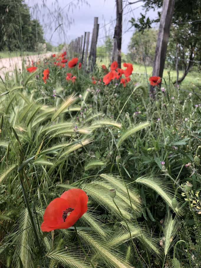 Meanwhile getting almost lost, I've found poppies in between wine yards somewhere in Provence, South of France