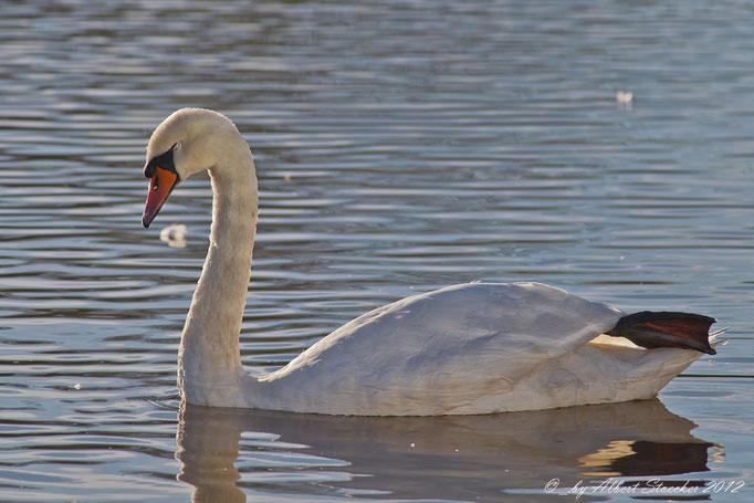 Cygnus color - Mute Swan - Höckerschwan