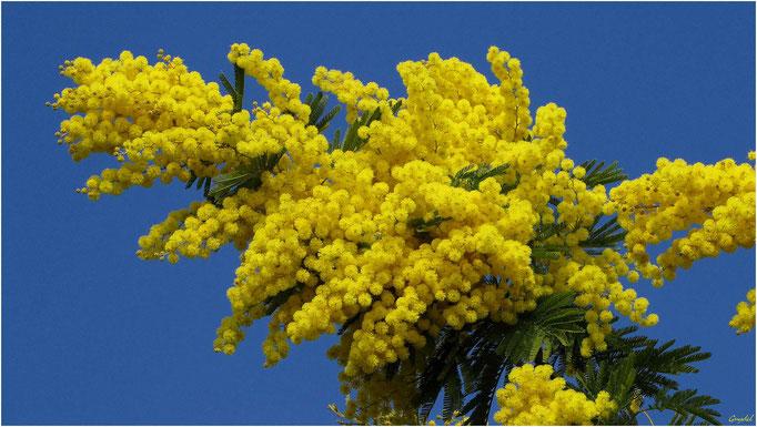 Le Mimosa ... emblème de Tanneron