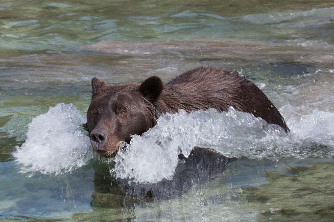 """Ausstellungs # 36 Format75x50cm Titel: """"Bear Power"""""""