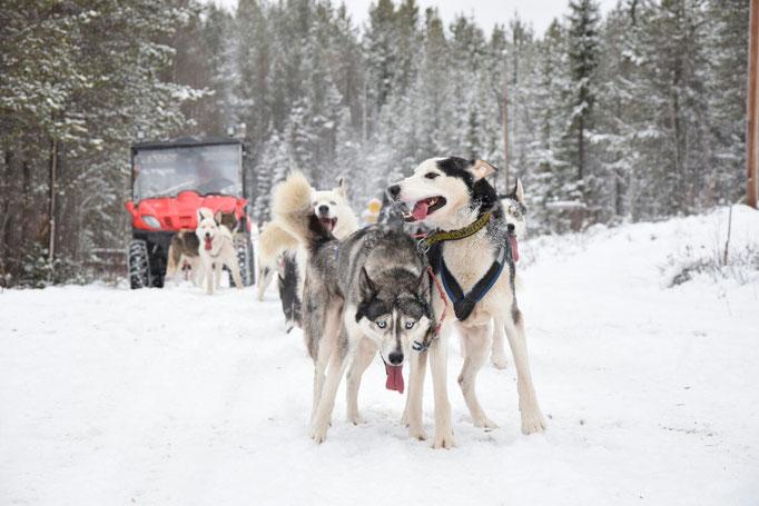 Trainieren der Schlittenhunde auf dem ersten Schnee