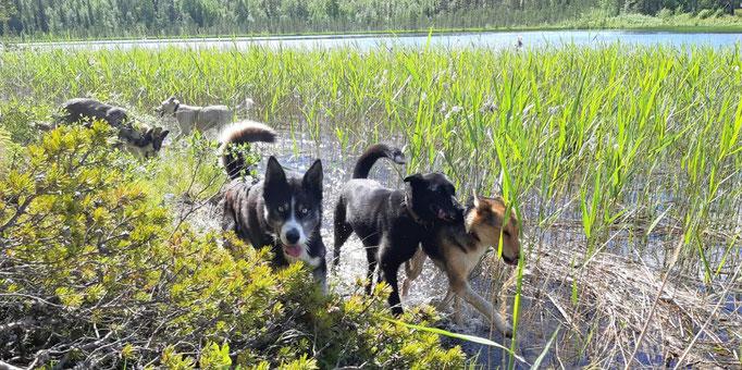 Die Huskys toben und rennen auf unserer Insel