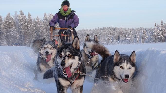Huskytouren mit Lapplands Drag