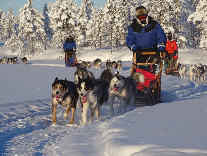 Huskys on tour mit uns in Lappland