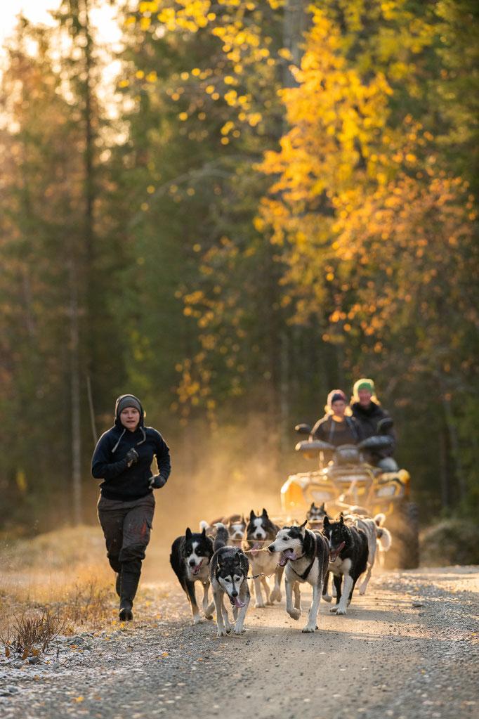 Muskeln und Kondition Aufbautraining der Schlittenhunde