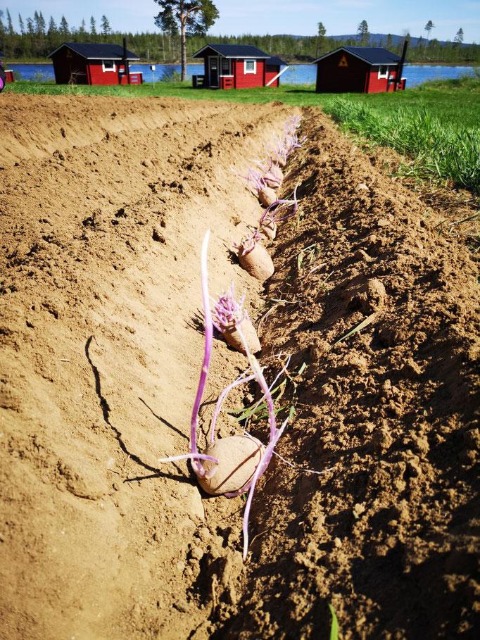 Die Kartoffeln sind gesetzt und der Winter ist somit gesichert:=)