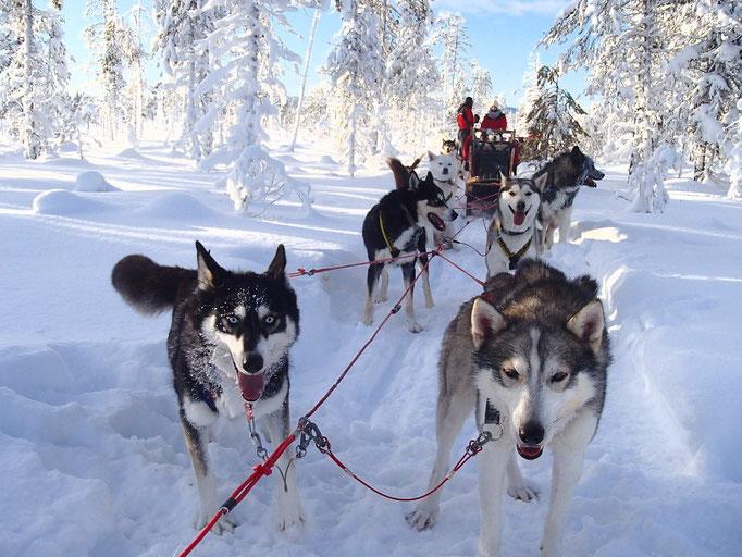 Auf Tour mit Schlittenhunden in Lappland
