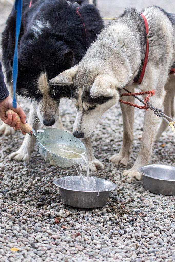 Trinkpause beim Herbsttraining der Huskys