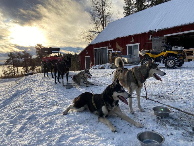 Siberian Huskys nach einer Tour in Schweden