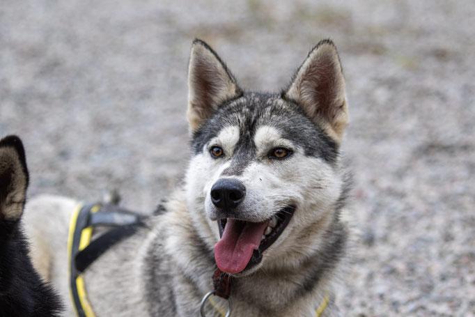 Huskytouren in Lappland mit Siberian Huskys erlebn