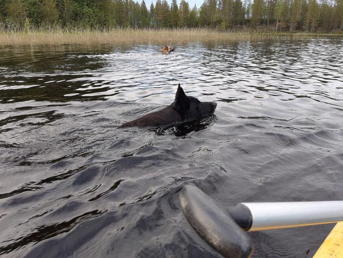 Unsere Schäferhunde folgen uns beim Paddeln
