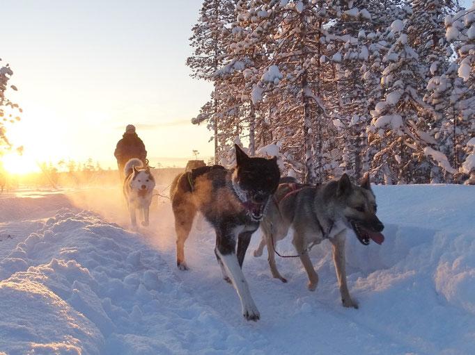 Auf Huskytour in Schweden