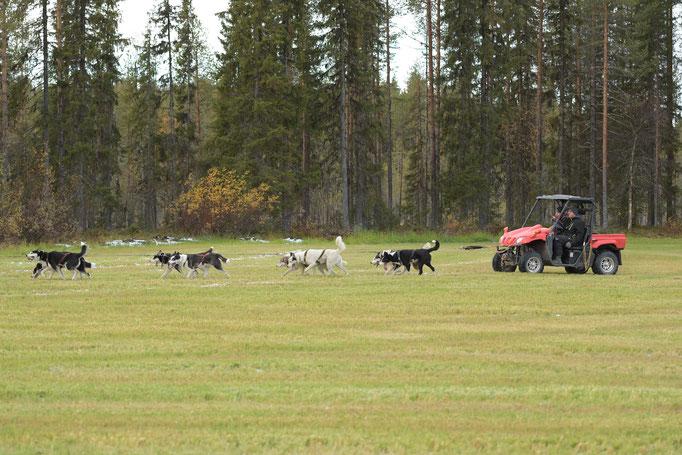Mit sanften Sibirien Huskys in Lappland fahren