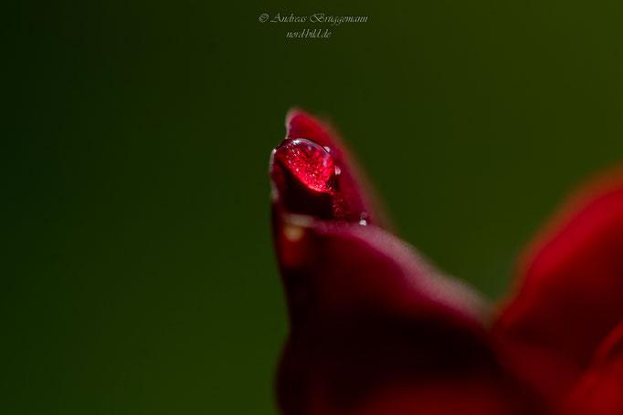 rose from Denmark-5