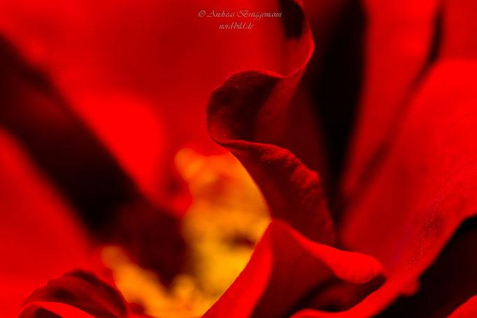 rose from Denmark-15