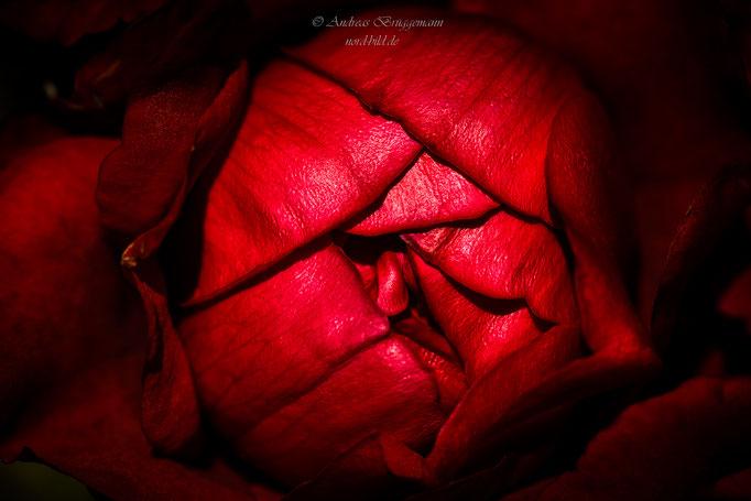 rose from Denmark-18