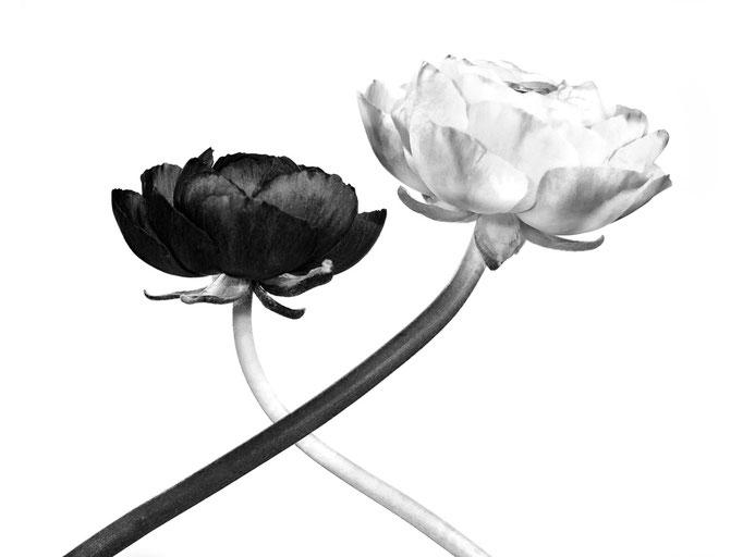 Ranunkeln schwarzweiss, Tabletop