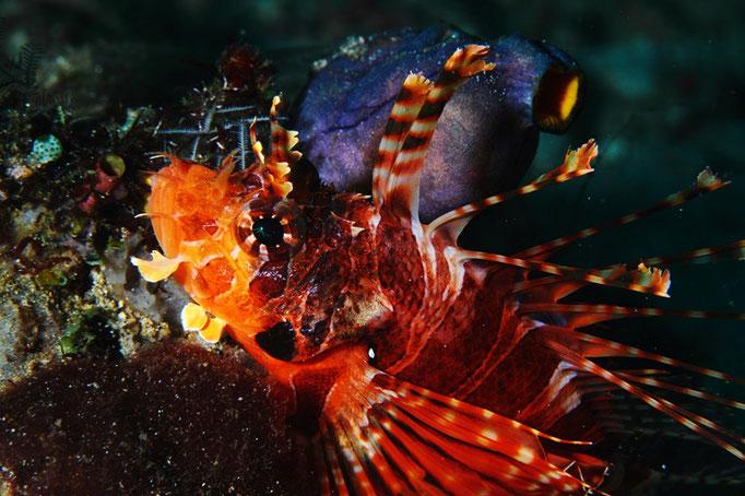 Red Lionfish  - Pazifischer Rotfeuerfisch - pterois volitans