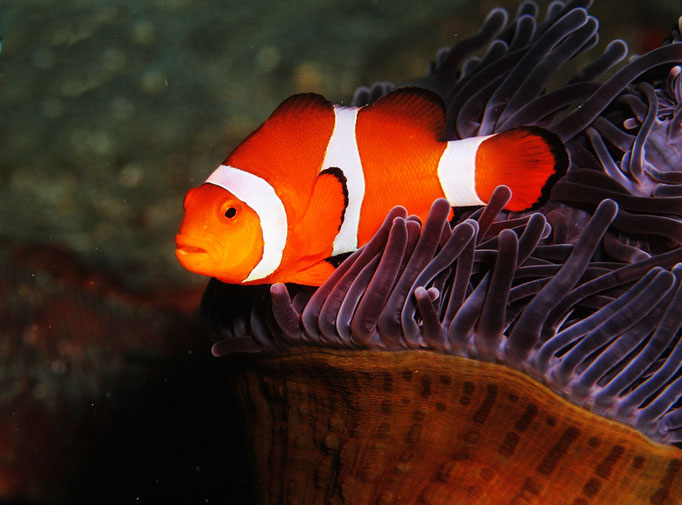 Clown anemonefish - Falscher Clownfisch - Amphiprion ocellaris