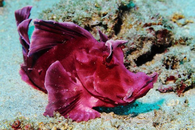 Eschmeyer's scorpionfish - Eschmeyer's Drachenkopf - Rhinopias eschmeyeri