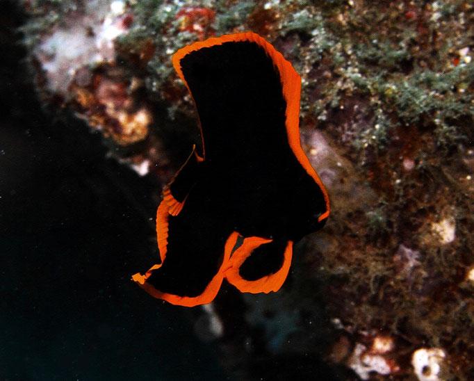 Juvenlie Longfin Batfish - Juveniler Langflossen Fledermausfisch - Platax teira