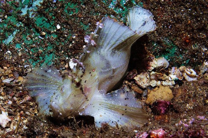 Leaf Scorpionfish - Schaukelfisch - Taenianotus triacanthus