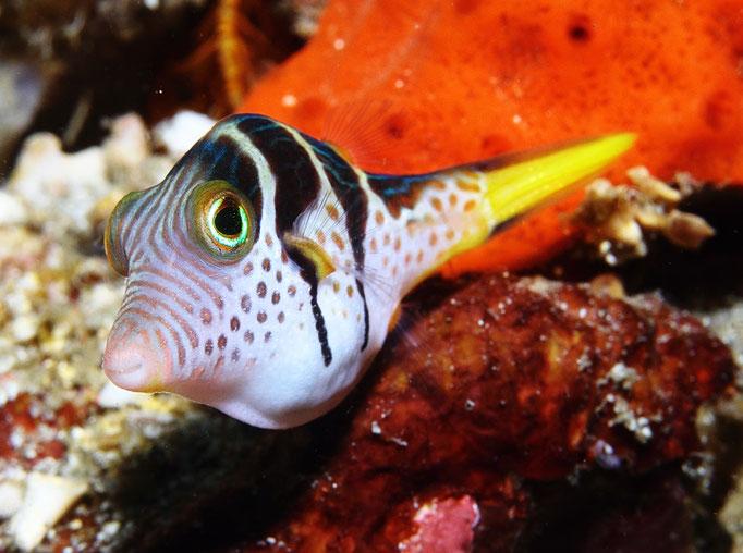 Blacksaddle Filefish - Schwarzsattel-Feilenfisch - Paraluteres prionurus