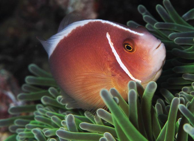 Skunk clownfish - Weißrücken-Clownfisch - Amphiprion akallopisos