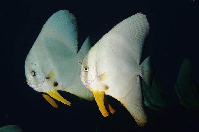 Longfin Batfish - Langflossen Fledermausfisch - Platax teira