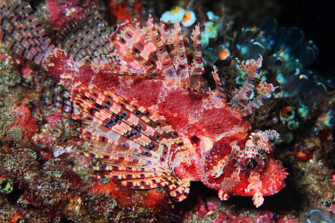 Shortfin Turkeyfish - Kurzflossen-Zwergfeuerfisch - Dendrochirus  brachypterus